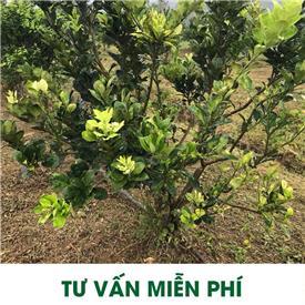 Chữa thành công vườn cam năm 4 bị vàng lá thối rễ tại Xã Hưng Thịnh, huyện Trấn Yên, tỉnh Yên Bái .