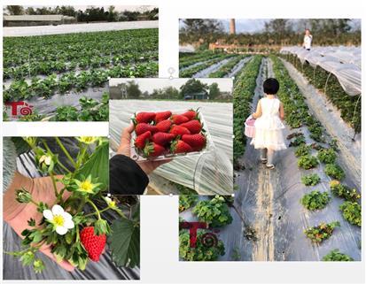 Mê mẩn trước vườn dâu tây SIÊU ĐẸP, SIÊU SẠCH trồng theo phương pháp sinh học tại Cao Bằng