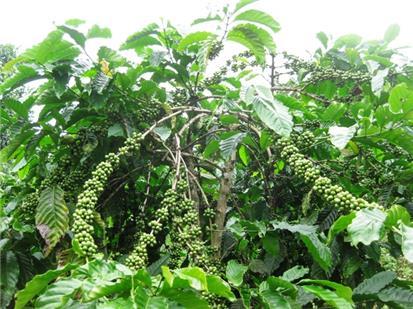 Khắc phục sau hạn hán cho cây cà phê, hồ tiêu và cây ăn quả vùng Tây Nguyên và Nam Trung Bộ