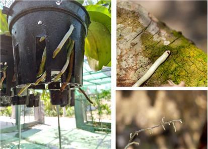 5 Nguyên nhân khiến lan bị cháy đầu rễ, nghẹt rễ, hỏng đầu rễ.