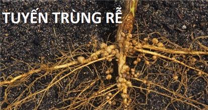 Tuyến trùng là gì? Làm cách nào để vĩnh biệt tuyến trùng hại rễ ?